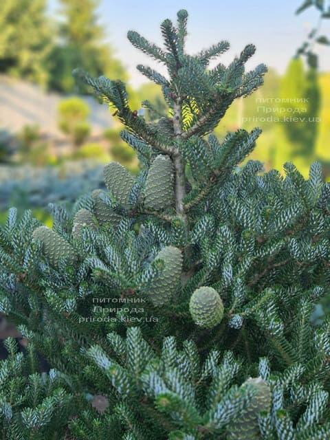 Ялиця корейська Сілберлок (Abies koreana Silberlocke) ФОТО Розплідник рослин Природа (23)