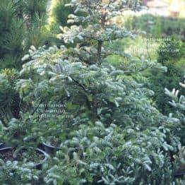Пихта корейская Силберлок (Abies koreana Silberlocke) ФОТО Питомник растений Природа (25)