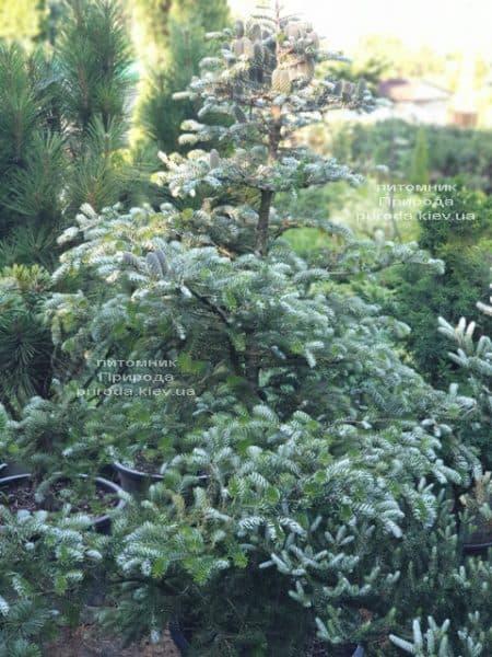 Ялиця корейська Сілберлок (Abies koreana Silberlocke) ФОТО Розплідник рослин Природа (25)