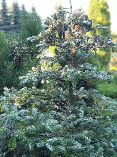 Ялиця корейська Сілберлок (Abies koreana Silberlocke) ФОТО Розплідник рослин Природа (26)