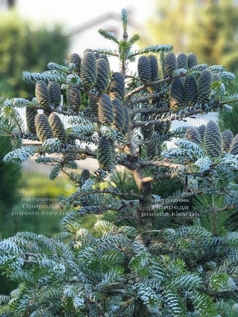 Ялиця корейська Сілберлок (Abies koreana Silberlocke) ФОТО Розплідник рослин Природа (27)