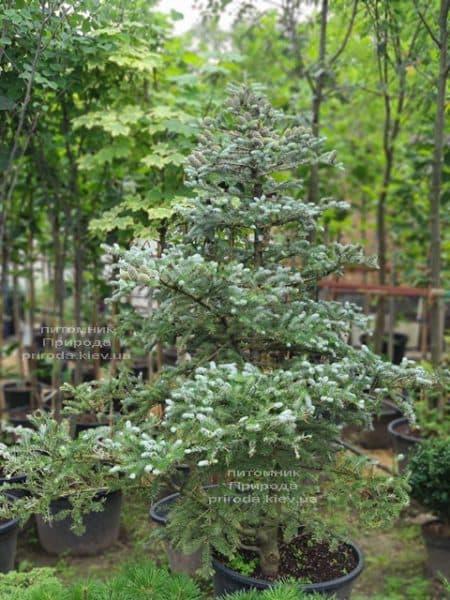 Ялиця корейська Сілберлок (Abies koreana Silberlocke) ФОТО Розплідник рослин Природа (28)