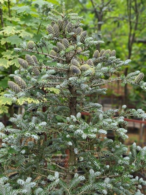Ялиця корейська Сілберлок (Abies koreana Silberlocke) ФОТО Розплідник рослин Природа (29)