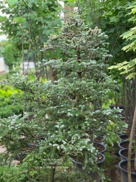 Ялиця корейська Сілберлок (Abies koreana Silberlocke) ФОТО Розплідник рослин Природа (30)