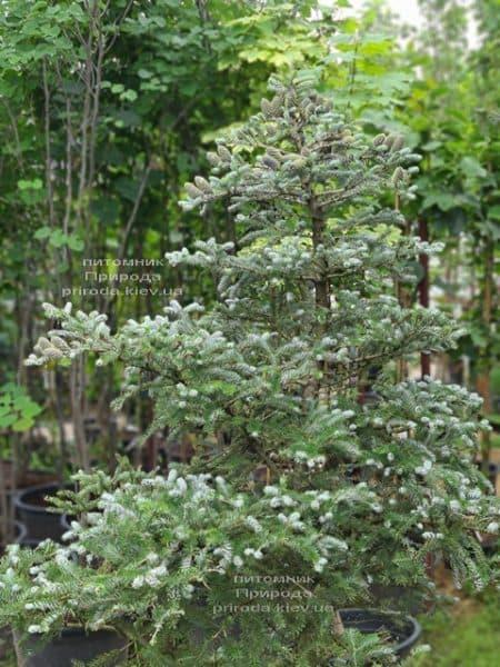 Ялиця корейська Сілберлок (Abies koreana Silberlocke) ФОТО Розплідник рослин Природа (32)
