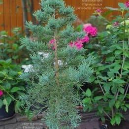 Секвойядендрон гиганский (Sequoiadendron giganteum) ФОТО Питомник растений Природа (1)