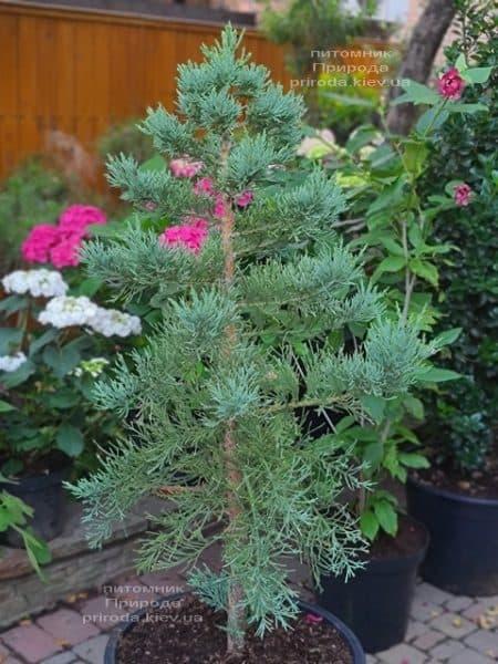 Секвойядендрон гиганский (Sequoiadendron giganteum) ФОТО Питомник растений Природа (2)