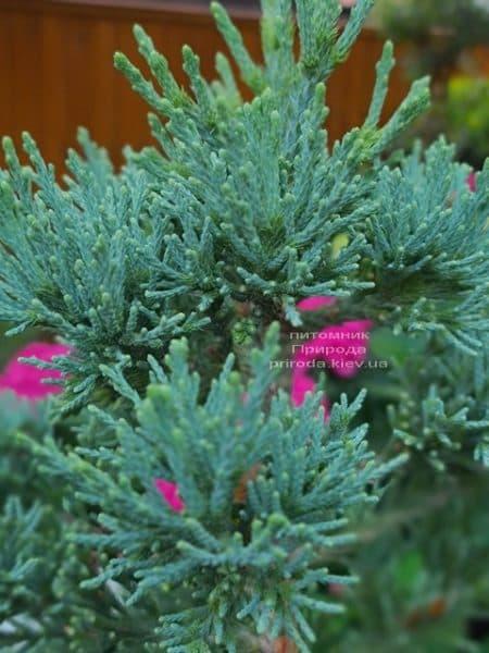 Секвойядендрон гиганский (Sequoiadendron giganteum) ФОТО Питомник растений Природа (3)