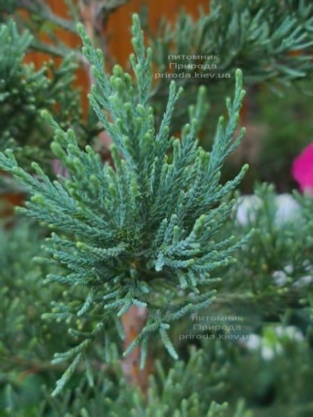 Секвойядендрон гиганский (Sequoiadendron giganteum) ФОТО Питомник растений Природа (5))