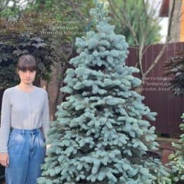 Ель голубая Блю Диамонд (Picea pungens Blue Diamond) ФОТО Питомник растений Природа (28)