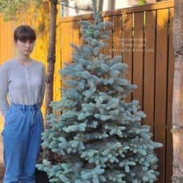 Ель голубая Блю Диамонд (Picea pungens Blue Diamond) ФОТО Питомник растений Природа (30)