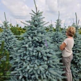 Ялина блакитна Блю Диамонд (Picea pungens Blue Diamond) ФОТО Розплідник рослин Природа (32)
