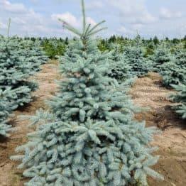 Ель голубая Блю Диамонд (Picea pungens Blue Diamond) ФОТО Питомник растений Природа(35)