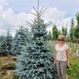 Ялина блакитна Блю Диамонд (Picea pungens Blue Diamond) ФОТО Розплідник рослин Природа (41)