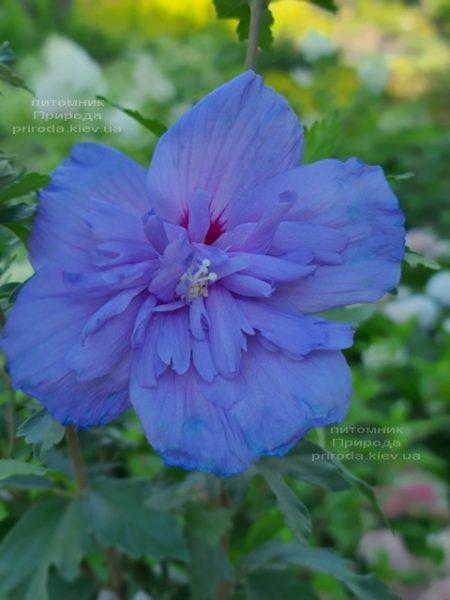 Гибискус сирийский Блю Шифон (Hibiscus syriacus Blue Chiffon) ФОТО Питомник растений Природа (1)
