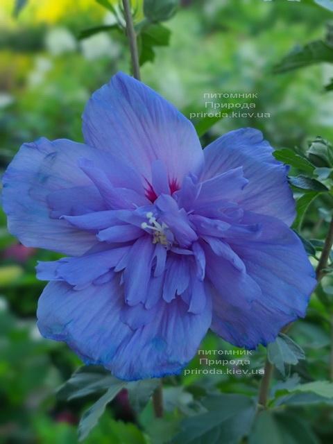 Гибискус сирийский Блю Чиффон (Hibiscus syriacus Blue Chiffon) ФОТО Питомник растений Природа (2)