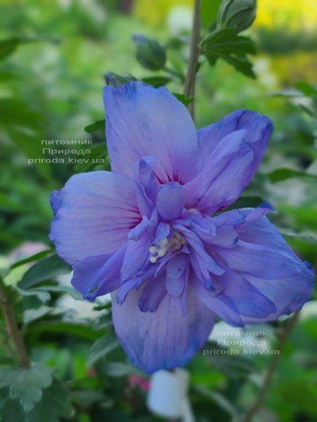 Гибискус сирийский Блю Шифон (Hibiscus syriacus Blue Chiffon) ФОТО Питомник растений Природа (3)