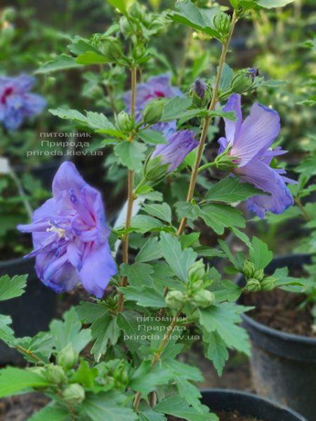 Гибискус сирийский Блю Шифон (Hibiscus syriacus Blue Chiffon) ФОТО Питомник растений Природа (6)