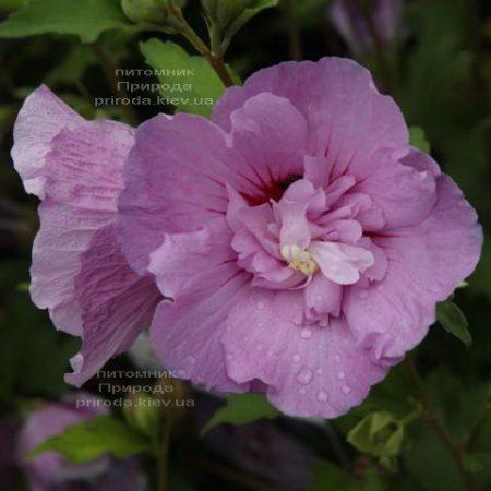 Гібіскус сірійський Лавендер Шифон (Hibiscus syriacus Lavender Chiffon) ФОТО Розплідник рослин Природа (1)