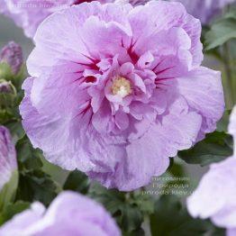 Гибискус сирийский Лавендер Шифон (Hibiscus syriacus Lavender Chiffon) ФОТО Питомник растений Природа (2)