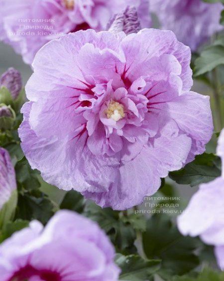 Гібіскус сірійський Лавендер Шифон (Hibiscus syriacus Lavender Chiffon) ФОТО Розплідник рослин Природа (2)
