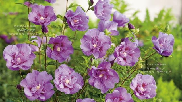 Гібіскус сірійський Лавендер Шифон (Hibiscus syriacus Lavender Chiffon) ФОТО Розплідник рослин Природа (3)