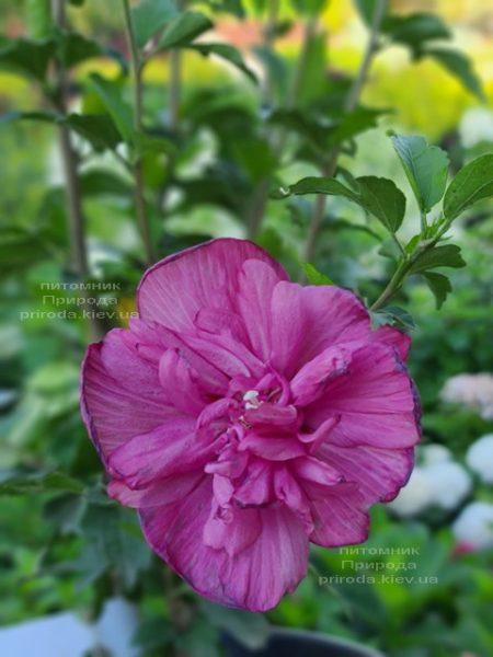Гібіскус сірійський Маджента Шифон (Hibiscus syriacus Magenta Chiffon) ФОТО Розплідник рослин Природа (1)