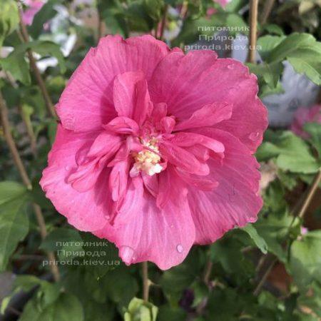 Гібіскус сірійський Маджента Шифон (Hibiscus syriacus Magenta Chiffon) ФОТО Розплідник рослин Природа (2)