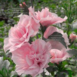 Гибискус сирийский Пинк Шифон (Hibiscus syriacus Pink Chiffon) ФОТО Питомник растений Природа (1)