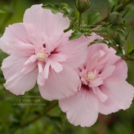 Гибискус сирийский Пинк Шифон (Hibiscus syriacus Pink Chiffon) ФОТО Питомник растений Природа (2)