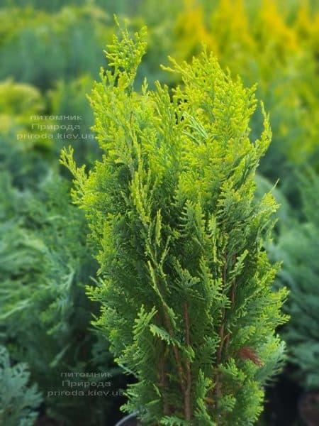 Кипарисовик Лавсона Алюмиголд (Chamaecyparis lawsoniana Alumigold) ФОТО Питомник растений Природа (10)