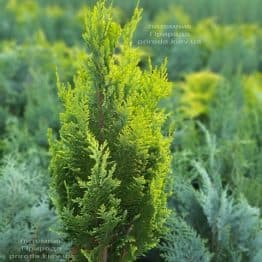 Кипарисовик Лавсона Алюміголд (Chamaecyparis lawsoniana Alumigold) ФОТО Розплідник рослин Природа (8)