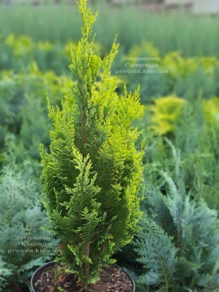 Кипарисовик Лавсона Алюмиголд (Chamaecyparis lawsoniana Alumigold) ФОТО Питомник растений Природа (8)