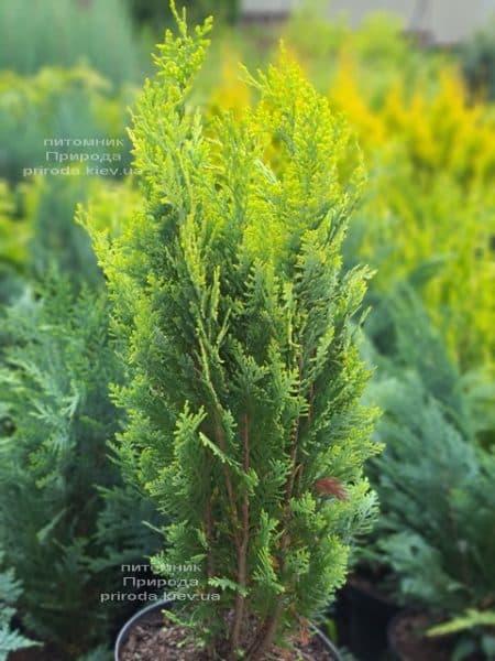 Кипарисовик Лавсона Алюмиголд (Chamaecyparis lawsoniana Alumigold) ФОТО Питомник растений Природа (9)