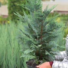 Кипарисовик Лавсона Колумнарис (Chamaecyparis lawsoniana Columnaris) ФОТО Питомник растений Природа (15)