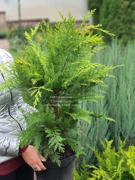 Кипарисовик Лавсона Івонне (Chamaecyparis lawsoniana Ivonne) ФОТО Розплідник рослин Природа (10)