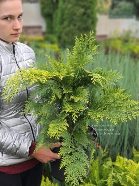 Кипарисовик Лавсона Івонне (Chamaecyparis lawsoniana Ivonne) ФОТО Розплідник рослин Природа (11)