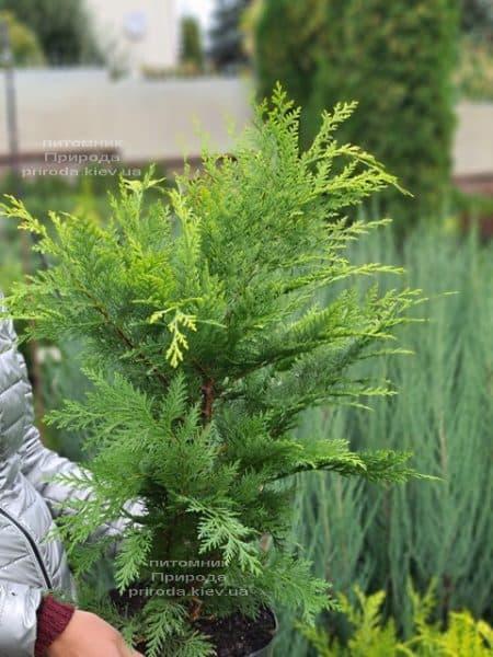 Кипарисовик Лавсона Івонне (Chamaecyparis lawsoniana Ivonne) ФОТО Розплідник рослин Природа (12)