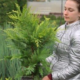 Кипарисовик Лавсона Ивонне (Chamaecyparis lawsoniana Ivonne) ФОТО Питомник растений Природа (13)
