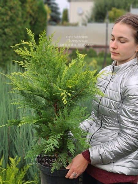 Кипарисовик Лавсона Івонне (Chamaecyparis lawsoniana Ivonne) ФОТО Розплідник рослин Природа (13)