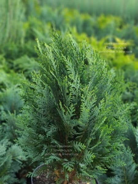 Кипарисовик Лавсона Вайт Спот (Chamaecyparis lawsoniana White Spot) ФОТО Питомник растений Природа (7)
