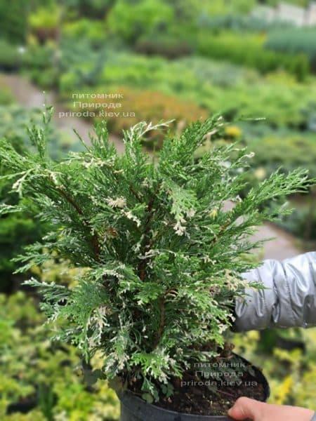 Кипарисовик нутканський Варієгата (Chamaecyparis nootkatensis Variegata) ФОТО Розплідник рослин Природа (8)