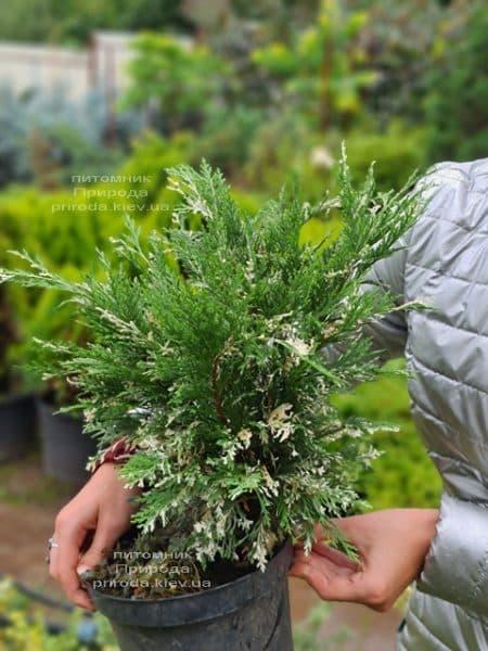 Кипарисовик нутканський Варієгата (Chamaecyparis nootkatensis Variegata) ФОТО Розплідник рослин Природа (9)