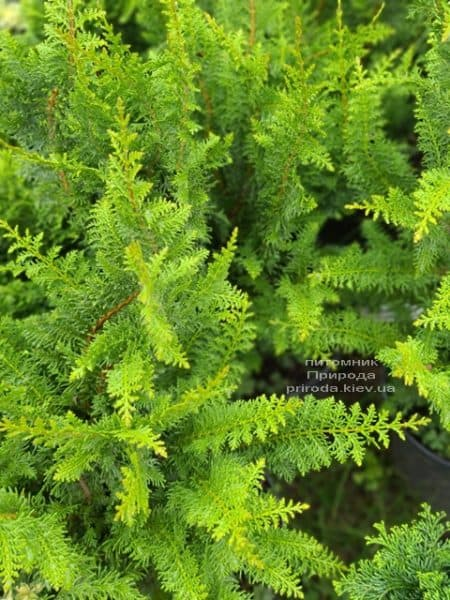 Кипарисовик тупий Ділатуш (Chamaecyparis obtusa Dilatush) ФОТО Розплідник рослин Природа (5)