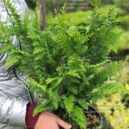 Кипарисовик тупий Ділатуш (Chamaecyparis obtusa Dilatush) ФОТО Розплідник рослин Природа (6)