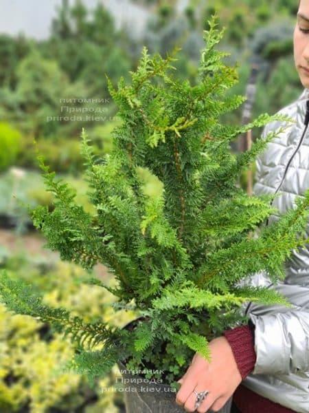 Кипарисовик тупий Ділатуш (Chamaecyparis obtusa Dilatush) ФОТО Розплідник рослин Природа (7)