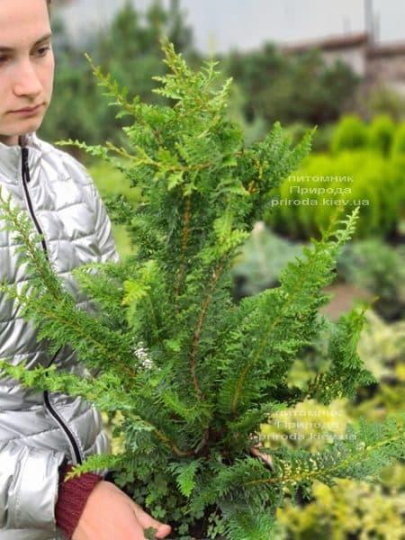 Кипарисовик тупий Ділатуш (Chamaecyparis obtusa Dilatush) ФОТО Розплідник рослин Природа (8)