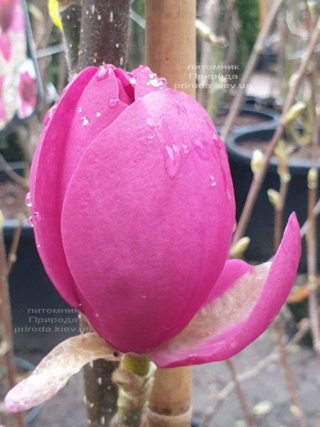 Магнолія Афродіта (Magnolia Aphrodite) ФОТО Розплідник рослин Природа (1)
