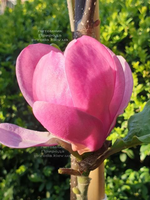 Магнолія Афродіта (Magnolia Aphrodite) ФОТО Розплідник рослин Природа (2)
