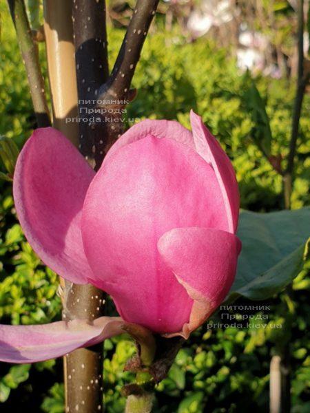 Магнолія Афродіта (Magnolia Aphrodite) ФОТО Розплідник рослин Природа (3)